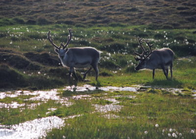 Svalbard reindeer walking through the tundra