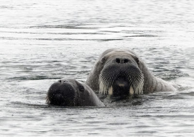 Walrus mom and calf